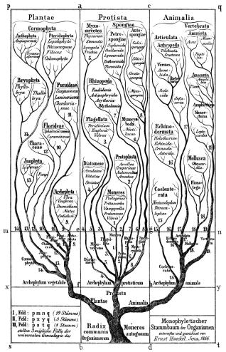 """Haeckel arbol bn"" by Ernst Haeckel - Escaneado por L. Fdez. 2005-12-28. Licensed under Public Domain via Commons - https://commons.wikimedia.org/wiki/File:Haeckel_arbol_bn.png#/media/File:Haeckel_arbol_bn.png"